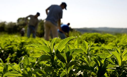 Stevia to Steal Intense Sweetener Market Share by 2017, Reports Mintel and Leatherhead Food Research