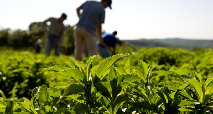 Global Stevia Market Up 14% in 2014