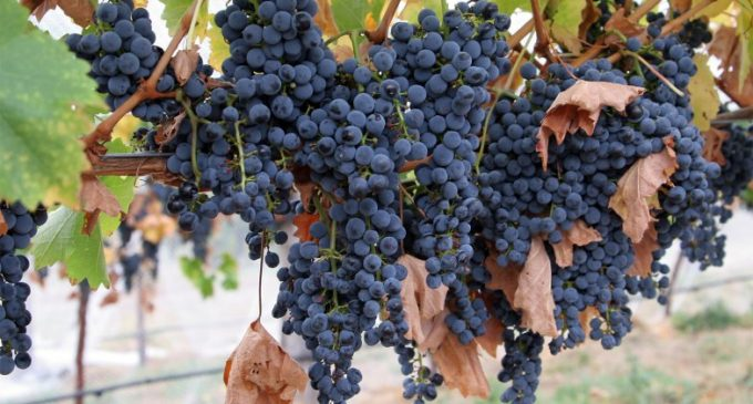 Researchers Pinpoint Mechanism For Aroma Formation in Wine